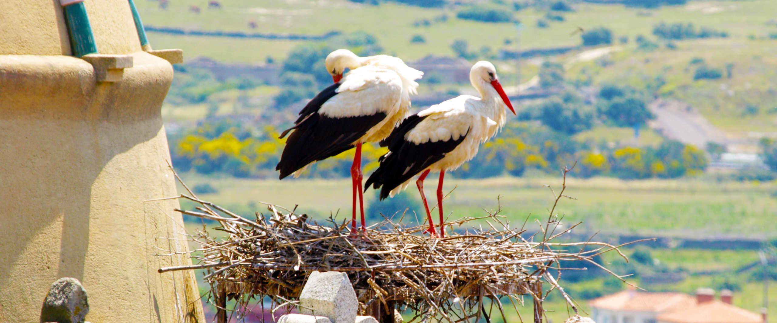 Zwei Stoerche sitzen in ihrem Nest und ueberblicken das Umland
