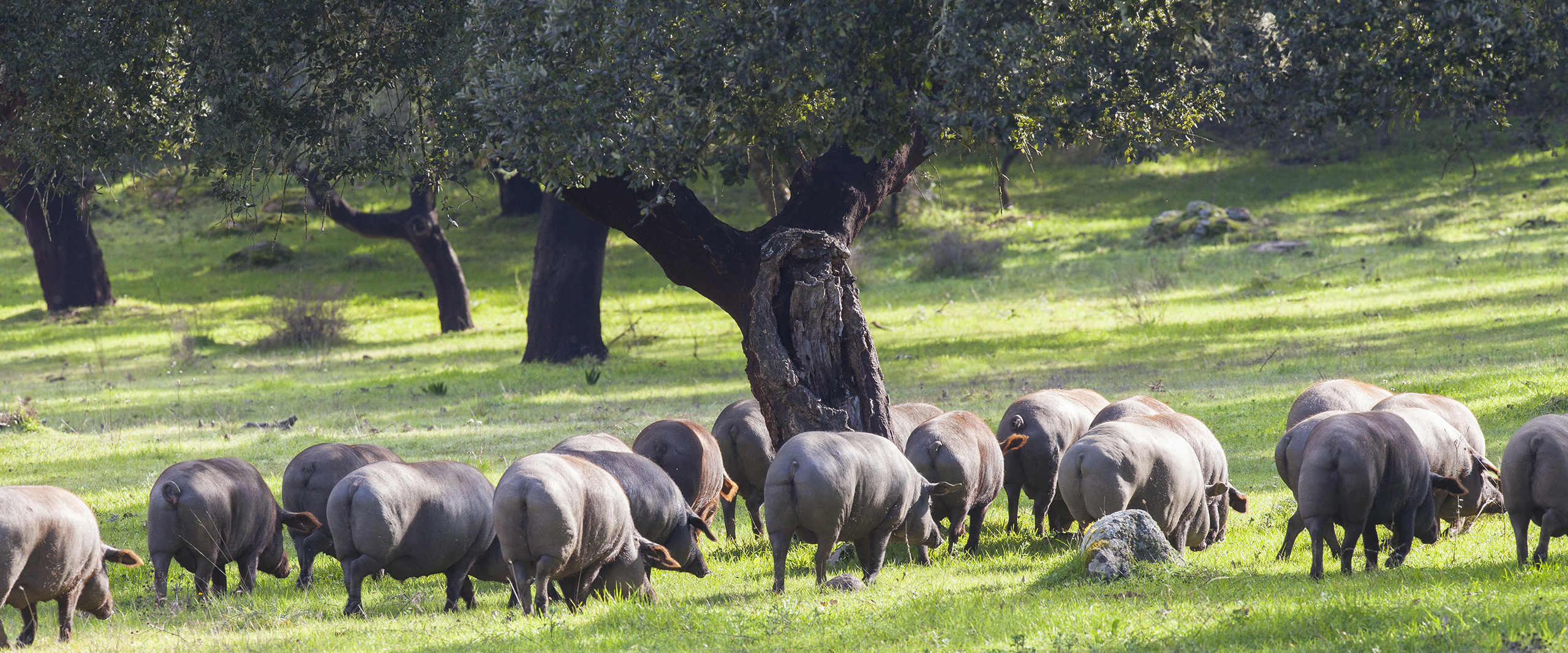 Schwarze Schweine essen genuesslich auf Wiese mit Korkeichen
