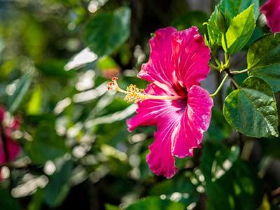 Rundreise Costa Rica Hibiskus