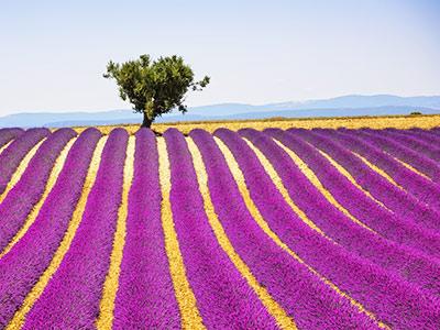 Rundreise-Frankreich-Provence-Lavendel