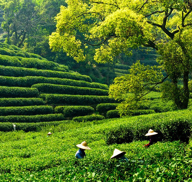 Arbeiter auf einer Teeplantage in Hangzhou