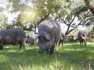 Rundreise Unbekanntes Spanien Schweine