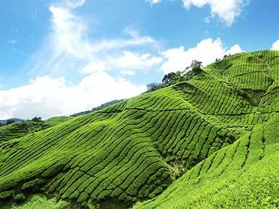 Rundreise Malaysia Teeplantage