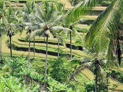Rundreise Bali Reisfarm