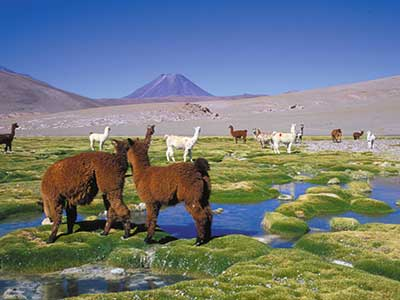 Rundreise Chile Alpacas Altiplano