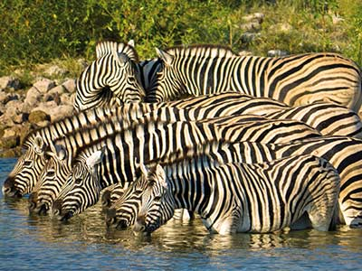 Rundreise Namibia Etoscha Nationalpark Zebras