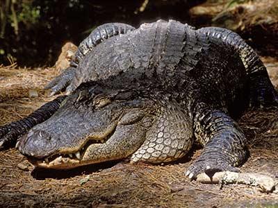 Rundreise Florida Everglades Krokodil