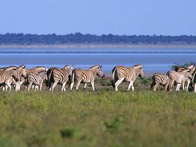 Rundreise Kenia Zebras