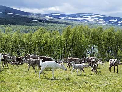 Rundreise Schweden Lappland Rentiere
