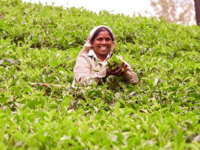 Sri Lanka Rundreise Teeplantage