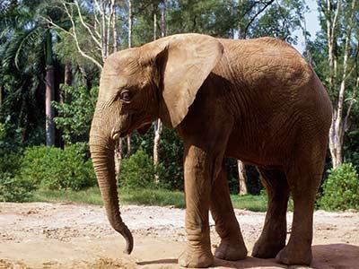 Tansania Urlaub Elefant