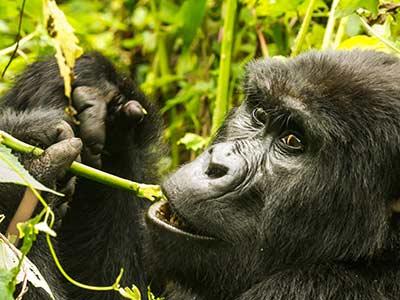 Rundreise Uganda Gorilla