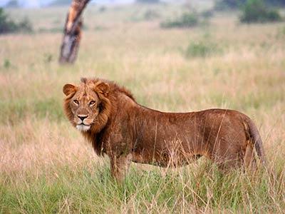Rundreise Südafrika Löwe