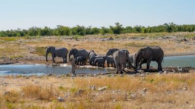 Namibia Elefanten Etosha Nationalpark