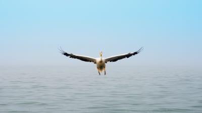 Namibia Pelikan Walvis Bay