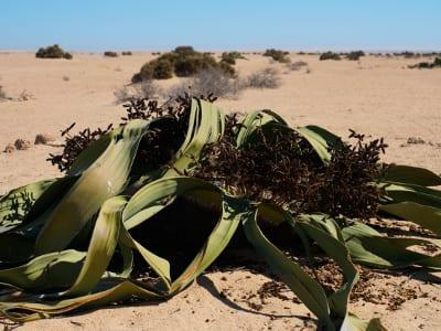 Namibia Welwitschie