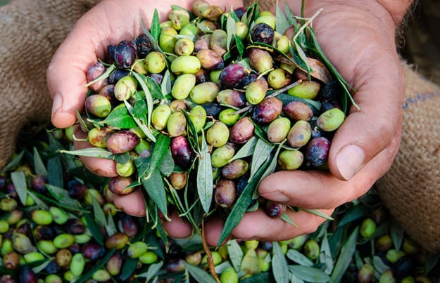 Kulinarisches Griechenland - Oliven