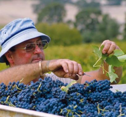 Weinbauer in Frankreich bei der Weinlese