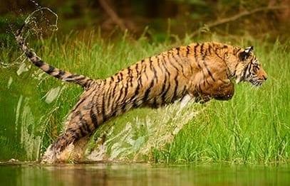 Indischer Tiger - Bei Gebeco jetzt schon Reisen für 2020 buchen!