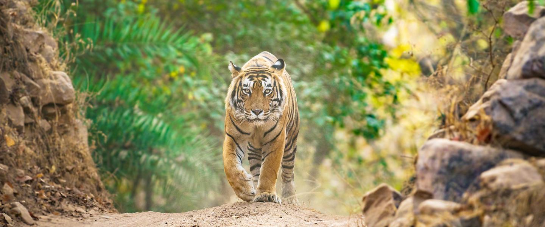 Gruppenreise Indien, Tigersafari Ranthambore Nationalpark
