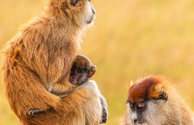 Affenarten in Uganda